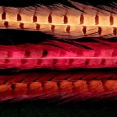 Ringneck Pheasant Tail Feathers--2 Pack